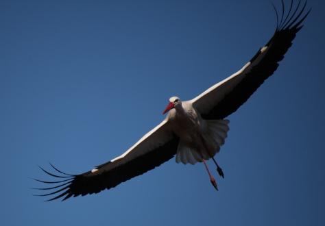 20170324-027 Fågel, Stork